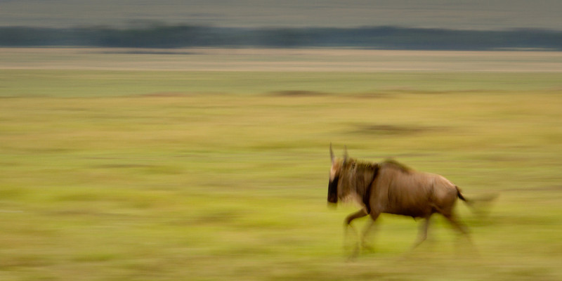running-wildebeest-on-the-Mara-L.jpg