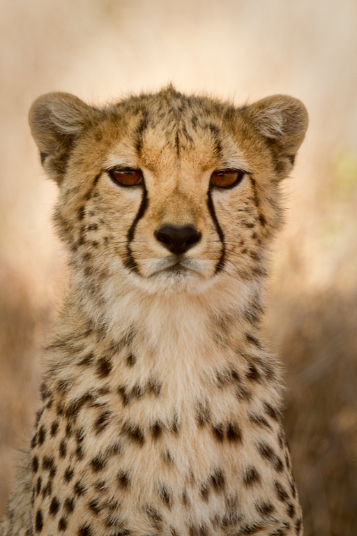 cheetah-portrait-3118-XL.jpg